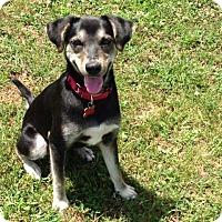 Adopt A Pet :: Cherry - Potomac, MD