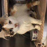 Domestic Shorthair Cat for adoption in Stanhope, New Jersey - Azalea