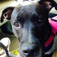 American Pit Bull Terrier/Spaniel (Unknown Type) Mix Dog for adoption in Cleveland, Ohio - Paige