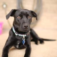 Adopt A Pet :: Pepper - Burlington, WA