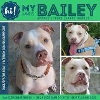 American Pit Bull Terrier Mix Dog for adoption in New Port Richey, Florida - Bailey