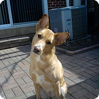 Adopt A Pet :: Bella - Winchester, VA
