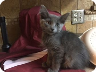 Russian Blue Kitten for adoption in Kennedale, Texas - Aurora