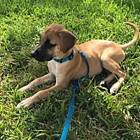 Adopt A Pet :: Robinson - Fort Lauderdale, FL