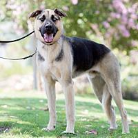 Adopt A Pet :: Klaus - Newport Beach, CA