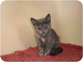 Domestic Mediumhair Kitten for adoption in Youngwood, Pennsylvania - barbara