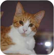 Domestic Shorthair Kitten for adoption in Marietta, Georgia - Andy