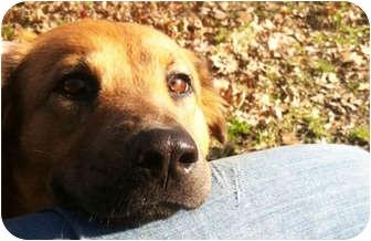 Shepherd (Unknown Type)/Golden Retriever Mix Dog for adoption in Grafton, Ohio - Winny!