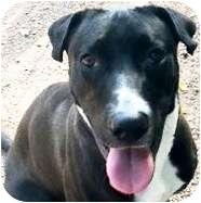 Labrador Retriever/Terrier (Unknown Type, Medium) Mix Dog for adoption in Gilbert, Arizona - Pumpkin