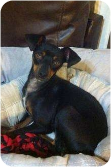 Miniature Pinscher Mix Dog for adoption in Davie, Florida - Kayla