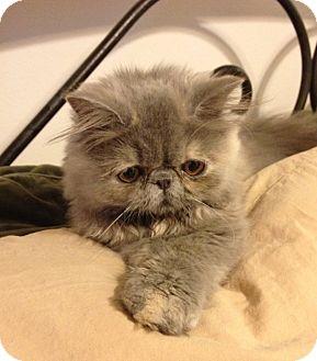 Persian Kitten for adoption in Beverly Hills, California - Miyu
