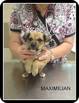 Shepherd (Unknown Type) Mix Puppy for adoption in Corpus Christi, Texas - Maximilian