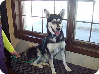 Husky Dog for adoption in Sterling, Kansas - Hodge