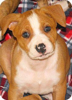 Boxer/German Shepherd Dog Mix Puppy for adoption in Santa Ana, California - Nala