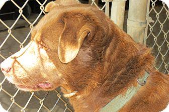Labrador Retriever Mix Dog for adoption in Henderson, North Carolina - Kerri
