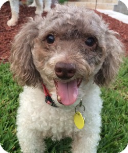 Poodle (Toy or Tea Cup) Dog for adoption in Melbourne, Florida - CAPPUCCINO