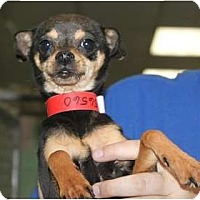 Adopt A Pet :: Socks - Fresno, CA