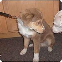 Adopt A Pet :: Dallas - Mini Aussie - Clayton, OH
