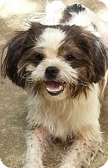 Shih Tzu/Lhasa Apso Mix Dog for adoption in Metairie, Louisiana - Sophia Loren