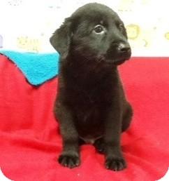 Labrador Retriever/German Shepherd Dog Mix Puppy for adoption in Bartonsville, Pennsylvania - Cinder