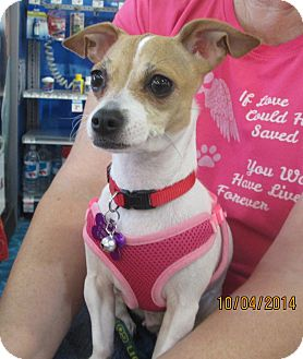 Jack Russell Terrier/Chihuahua Mix Dog for adoption in Salem, Oregon - Daisy
