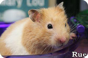Hamster for adoption in Tiffin, Ohio - Rue