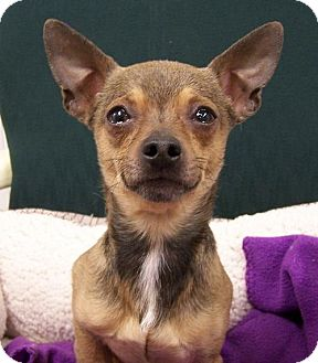 Chihuahua Dog for adoption in High Point, North Carolina - Copper