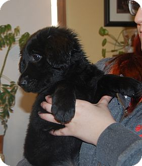 Golden Retriever/Spaniel (Unknown Type) Mix Puppy for adoption in knoxville, Tennessee - SHADOW