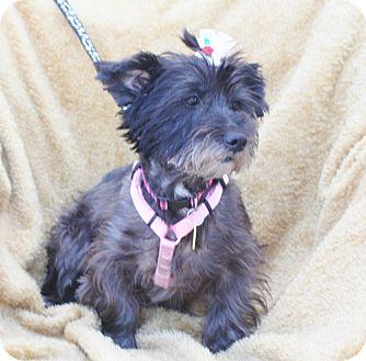Cairn Terrier Mix Dog for adoption in Umatilla, Florida - Zoey