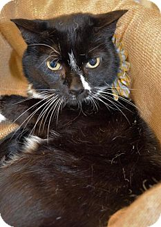 Domestic Shorthair Cat for adoption in Richmond, Virginia - Jake