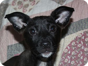 Chihuahua Mix Puppy for adoption in kennebunkport, Maine - Nikki - in Maine