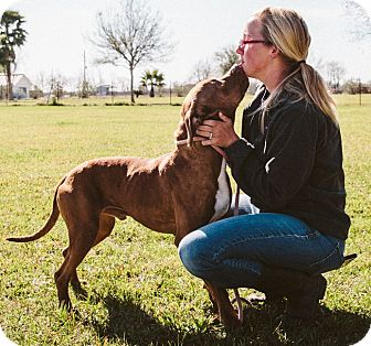 Rhodesian Ridgeback/Pit Bull Terrier Mix Dog for adoption in Houston, Texas - A - SAMPSON
