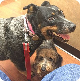 Australian Cattle Dog Dog for adoption in Oak Ridge, New Jersey - Heather