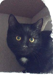Domestic Shorthair Cat for adoption in Colmar, Pennsylvania - Summer