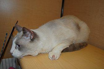Siamese Cat for adoption in Whittier, California - Simba
