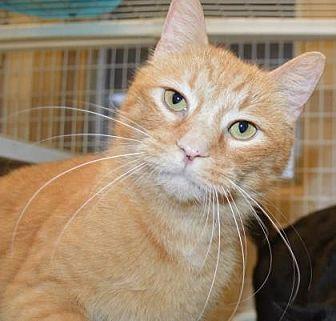 Domestic Shorthair/Domestic Shorthair Mix Cat for adoption in Ashtabula, Ohio - Walmart