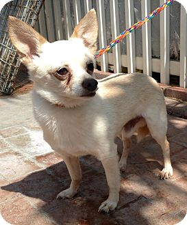Pomeranian/Jack Russell Terrier Mix Dog for adoption in Santa Ana, California - Krosby (BH)