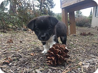 Terrier (Unknown Type, Small) Mix Puppy for adoption in Bend, Oregon - Milo - Puppy!