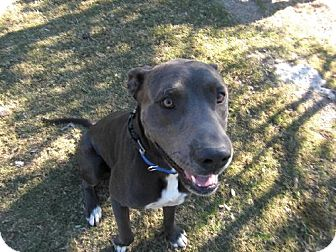 Great Dane/American Staffordshire Terrier Mix Dog for adoption in Pipe Creed, Texas - Bradley