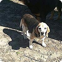 Adopt A Pet :: Butch - Houston, TX