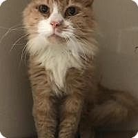 Domestic Longhair Cat for adoption in North Haven, Connecticut - Jess