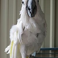 Cockatoo for adoption in Elizabeth, Colorado - Hannigan