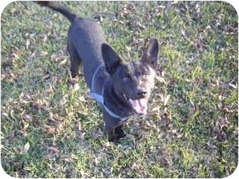 German Shepherd Dog/Labrador Retriever Mix Dog for adoption in Haughton, Louisiana - Fray