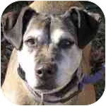 Shepherd (Unknown Type) Mix Dog for adoption in Eatontown, New Jersey - AJ