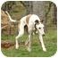 Photo 3 - Greyhound Dog for adoption in Santa Rosa, California - Klondike