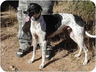 Greyhound Dog for adoption in Albuquerque, New Mexico - Prophet