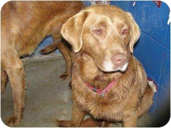 Chesapeake Bay Retriever/Labrador Retriever Mix Dog for adoption in New Boston, New Hampshire - Keno