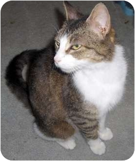 Domestic Shorthair Cat for adoption in Richmond, Virginia - Fran