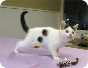 Domestic Shorthair Kitten for adoption in Overland Park, Kansas - Junebug