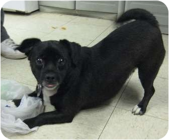 Pug/Chihuahua Mix Dog for adoption in Cleveland, Ohio - Preston
